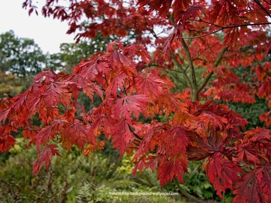 japanese maple leaf tattoo meaning. japanese maple tree leaf. a red japanese maple tree.