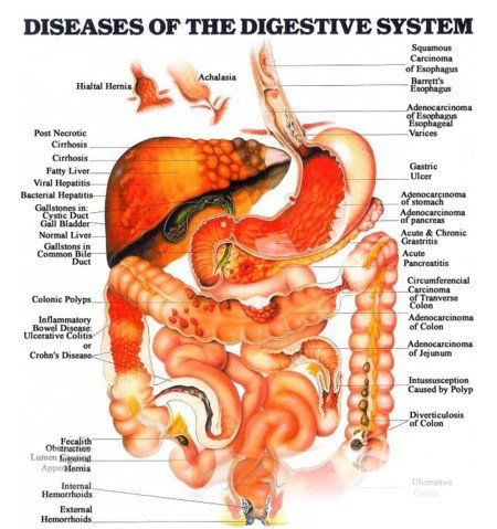 Digestive System Unlabeled For Kids - 2018 images & pictures ...