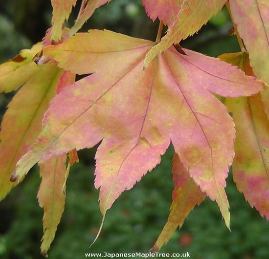 japanese maple leaf tattoo meaning. japanese maple tree leaf. The Maple tree leaf shape we