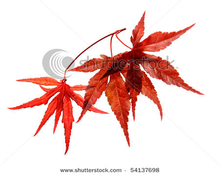 japanese maple leaf tattoo meaning. japanese maple tree leaf. Japanese Red maple tree; Japanese Red maple tree